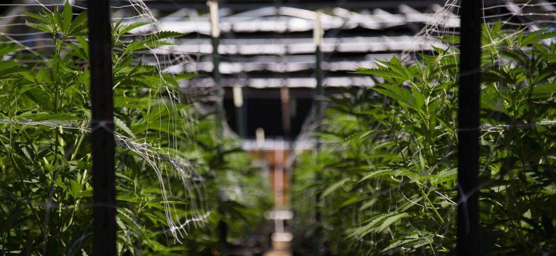 ¿Cuál es la diferencia entre cannabis medicinal y aceite de cannabis con CBD?